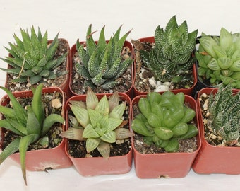 """10 Assorted 2"""" Haworthias potted great Variety of Succulent plants Collection Succulents FAVORS+"""