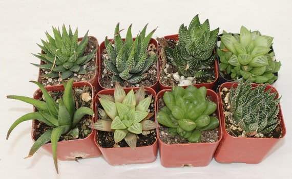 "9 Assorted 2"" Haworthias potted great Variety of Succulent plants Collection Succulents FAVORS+"