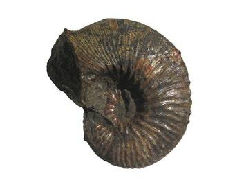 Ammonite Jeletzkytes Specimen