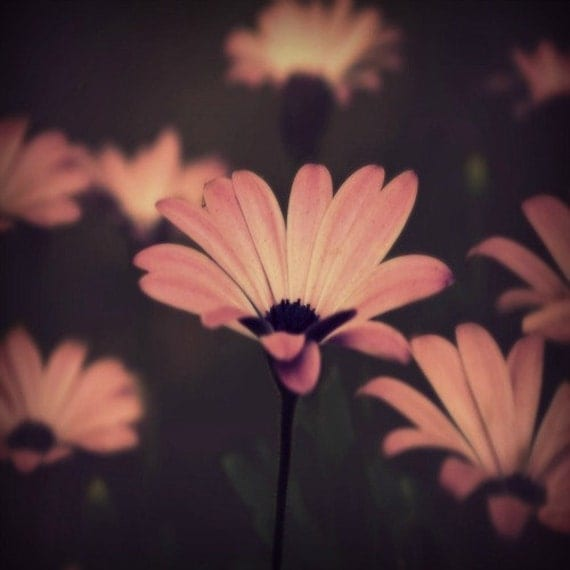 Daisy Floral Photography Pink,soft,flower,Gifts under 25,home decor,macro,pink daisies print,nursery decor,field of daisies,baby's room art