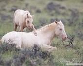 Wake Up Brother - Fine Art Wild Horse Photograph - Wild Horse - Cremello Colt