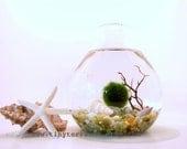 FREE 2nd Marimo Ball included: Marimo Moss Ball Teardrop Aquarium / Terrarium - Several colors available