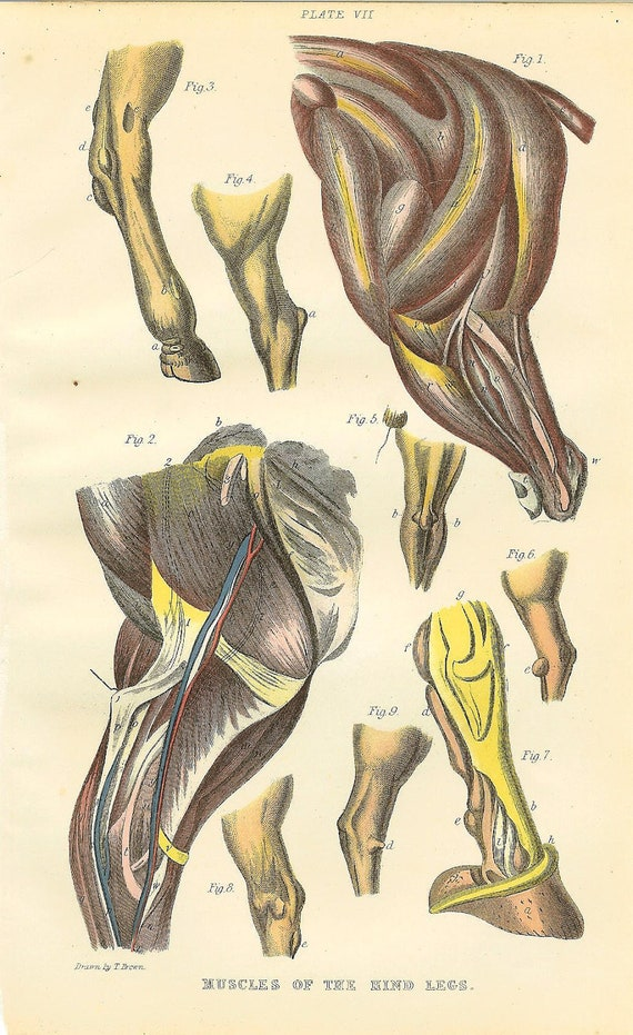 Antique 1900 Anatomy Print Of Horse's Hind Leg Muscles. Ideal For Framing
