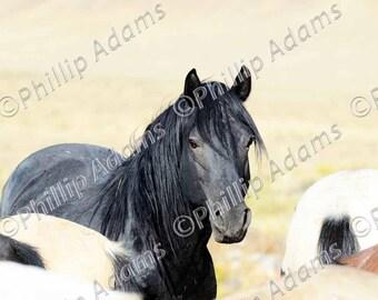 "The Black Stallion 4 - Mustangs - 8.5"" x 11"""