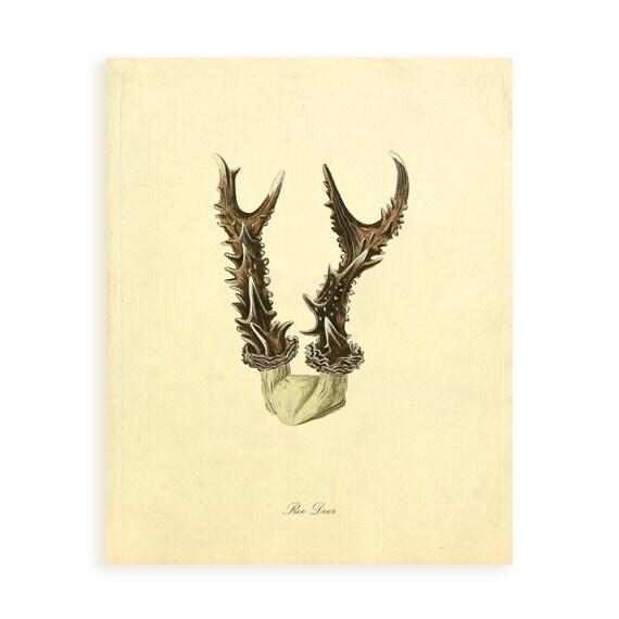 Vintage Antler Series Plate 3 Digital Download: Roe Deer 8x10, specimens, horns, vintage-look, decoupage