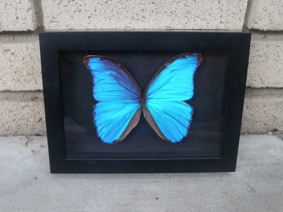 Real Blue Morpho butterfly in black shadowbox frame