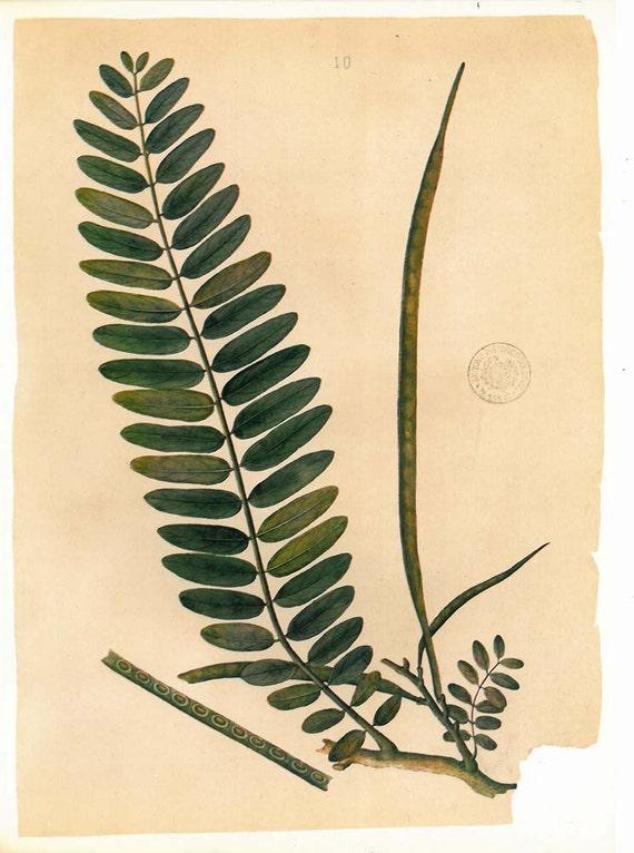 RESERVED Vintage Botanical  Print Timor Flora Turis Plant Drawing