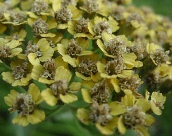Yarrow Flower Greeting Card - floral card, birthday card, anniversary cary, thank you card, yellow autumn flower, macro flower photo