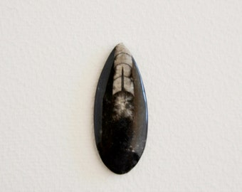 polished Orthoceras fossil squid (1 pc)