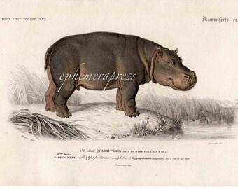 HIPPOPOTAMUS safari series HIPPO mammal print