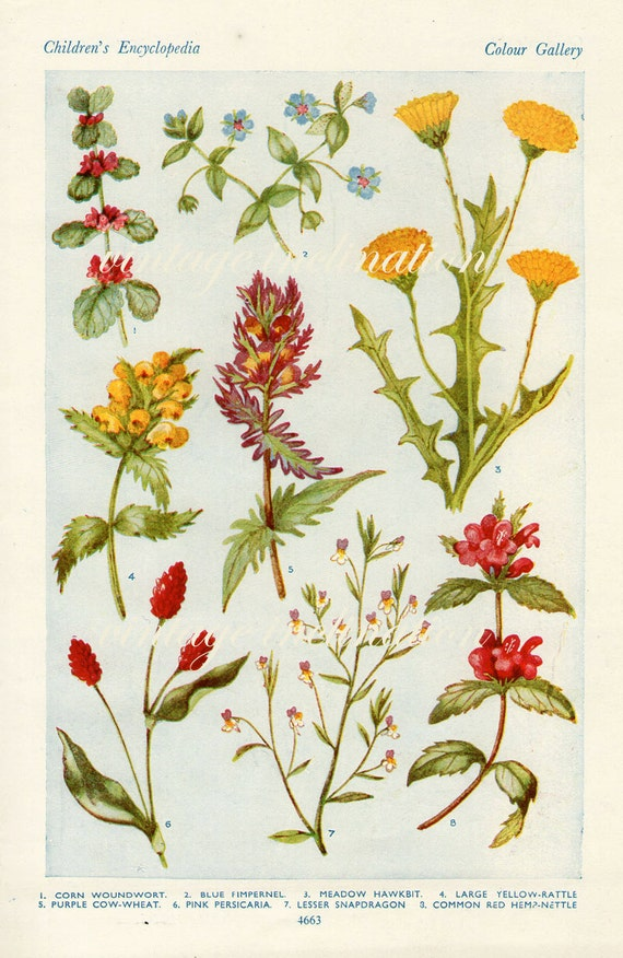 Vintage flower print 1938 antique red yellow Snapdragon