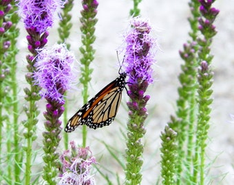 Butterfly on Blooms - Monarch dines during drought
