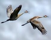 Sandhill Crane Couple- 8x10 Fine Art Nature Photograph