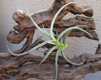 Tillandsia Caliginosa