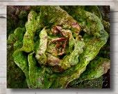Purple and Green Leaf Lettuce - Kitchen Art Print - Photograph - 8 x 10 - Garden Art