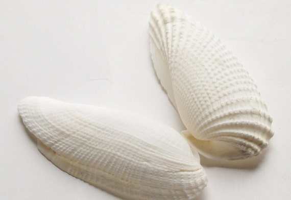 Craft Seashells, 5 Pair Angel White Wing Sea Shells, Beach Wedding Supplies, DIY Coastal Cottage Tropical Decor