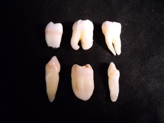 6 Premium Real Human Teeth Taxidermy Bone Teeth Molar, Premolar, Incisor and Fang Tooth Bones lot 47
