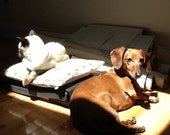 The two friends together Pearl Siamese Ketchup Dachshund in the Sunlight, photo art print 8x10