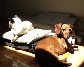 The two friends together Pearl Siamese Ketchup Dachshund in the Sunlight, photo art print 8x10 cats and dogs sitting together in the sun