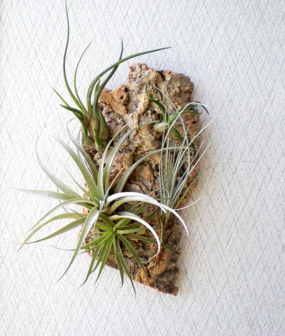 Vertical Garden: Air Plants on Sustainable Virgin Cork Bark