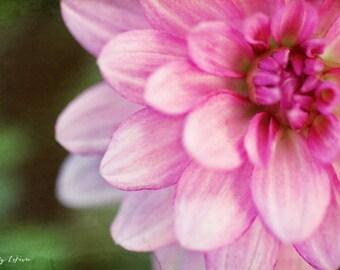 dahlia, pink, flower, nature, fine art photography