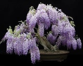 Heirloom 10 Wisteria Seeds Bonsai Tree Seeds Wisteria sinensis Chinese Wisteria Vine Violet Blue Flowers T017