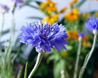 100 grams 21000 Bulk Seeds Cornflower Blue Centaure Flower Garden Wholesale B2029(1)