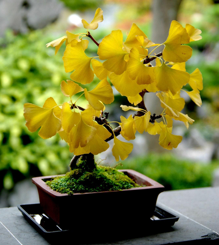 Heirloom Organic 5 Ginkgo Biloba Gingko Maidenhair Fruit Seeds