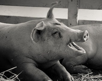 Pig photo, farm photo, Nature photo, summer fair, county fair, Happy Pig - 8x8 fine art photograph