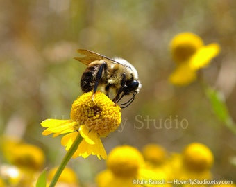 Bee on Sneezeweed - Native Prairie Plants - Nature Photograph