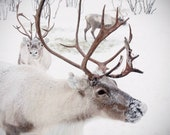 Large Wall Art-Winter Reindeer Photo-Christmas in Norway Snow-Home Decor-Fine art Photography-16x20 - sarahnatsumi