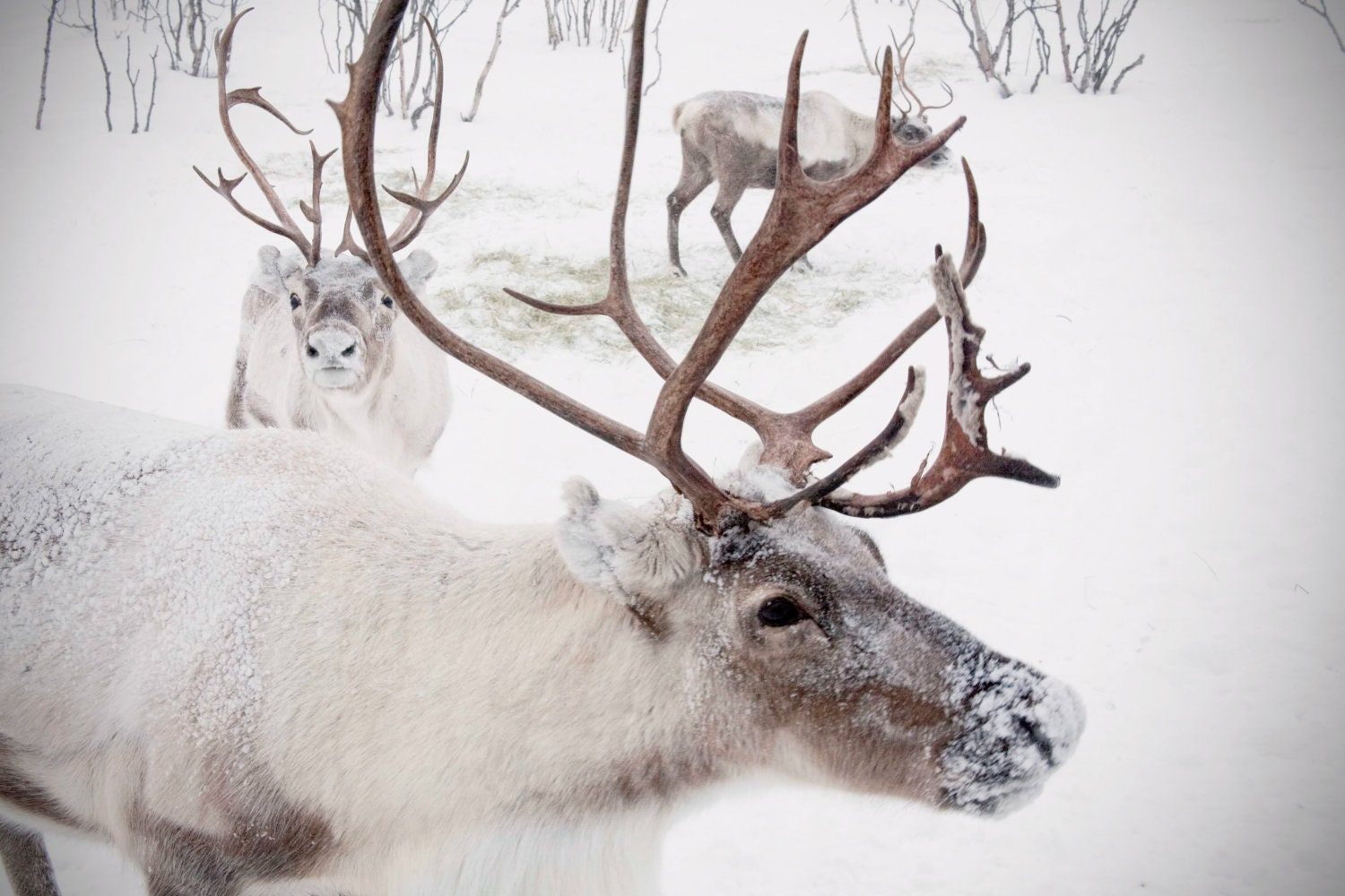 Extra Large Wall Art-Winter Reindeer Snow Photo-Caribou In
