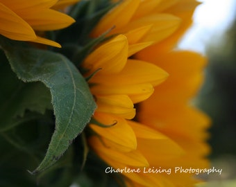 Sunflowers, Fine Art Photography, Note Cards, Macro, Flowers, Yellow, Gifts, Birthday, Mothers day, Get Well Soon, Happy, Nature,  Prints,