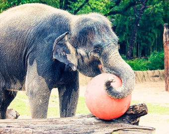 Elephant Playing Photo - 8x10 photograph - Elephant with ball- fine art print -  baby elephant - nursery art - photo for children