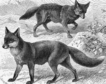 Fox print  wolf print  civet  mongoose  carnivores print predator animals print : Antique 1890s engraving  old book plate