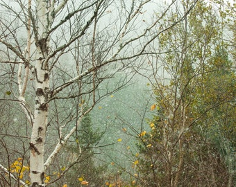 First Snow -  Nature photography, landscape photography, fall, winter, fine art print, birch tree, snow, new england