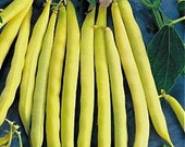 Soleil French Filet  -   Yellow Bush Bean - MizzTizzysWeedsSeeds