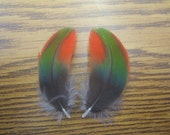 "Naturally Shed - Cruelty Free - Matched Pair Red Green Macaw 2"" Covert Wing Feathers XO8"