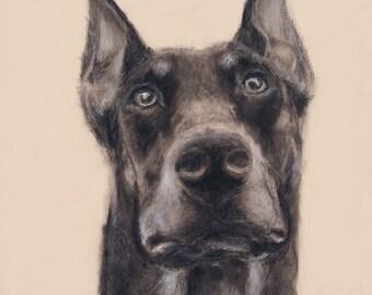 Loyalty: 13x19 charcoal and pastel Doberman