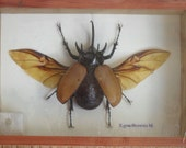 Real 5 Horned Gracilicornis Beetle Insect Taxidermy in Box /INF18