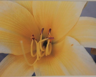 5 x 7 matted photograph, close up of yellow lily, flower