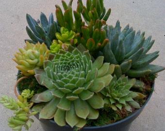 Succulent plants, DIY Dish Garden,Terrarium, Valentines Day, Fathers Day, Birthday