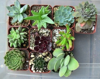 Collection of 10 small succulents