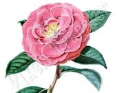 Digital Downloads pink flower of CAMELLIA clipart 161