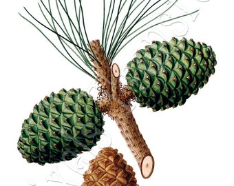 STONE PINE Instant Download Digital Download Image Transfer, brown green cone clipart digital 137