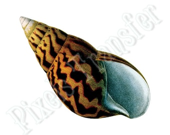 SEASHELL Instant Download, clipart yellow orange Digital Downloads image transfer sealife clipart 157