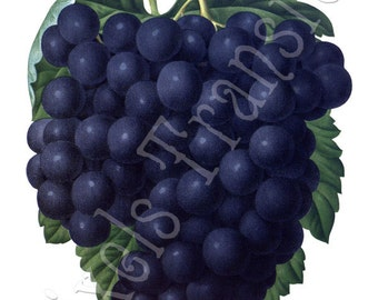 GRAPES Instant Download black fruits clipart 164