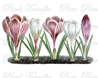 CROCUS Instant Download Digital Download, botanical illustration crocuses WEDDING clipart no.223