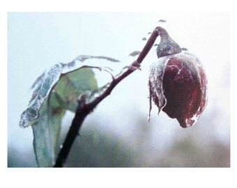 Compassion Mantra photo card - rose in ice