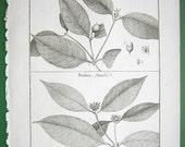 1790 BOTANICAL Print Vintage Antique - Coussarea and Patabea Native to Panama Guiana